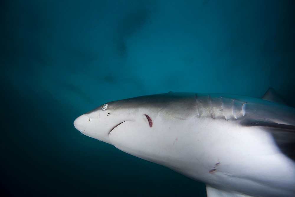 The black tip shark (Carcharhinus limbatus) is a species of requiem shark, family Carcharhinidae. It is common to coastal tropical and subtropical waters around the world, including brackish habitats. The black tip shark has a stout, fusiform body with a pointed snout, long gill slits, and no ridge between the dorsal fins. Most individuals have black tips or edges on the pectoral, dorsal, pelvic, and caudal fins. It usually attains a length of 1.5 m (4.9 ft).