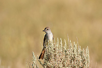 A Western Kingbird sits on sagebrush watching and waiting for insects to fly by.