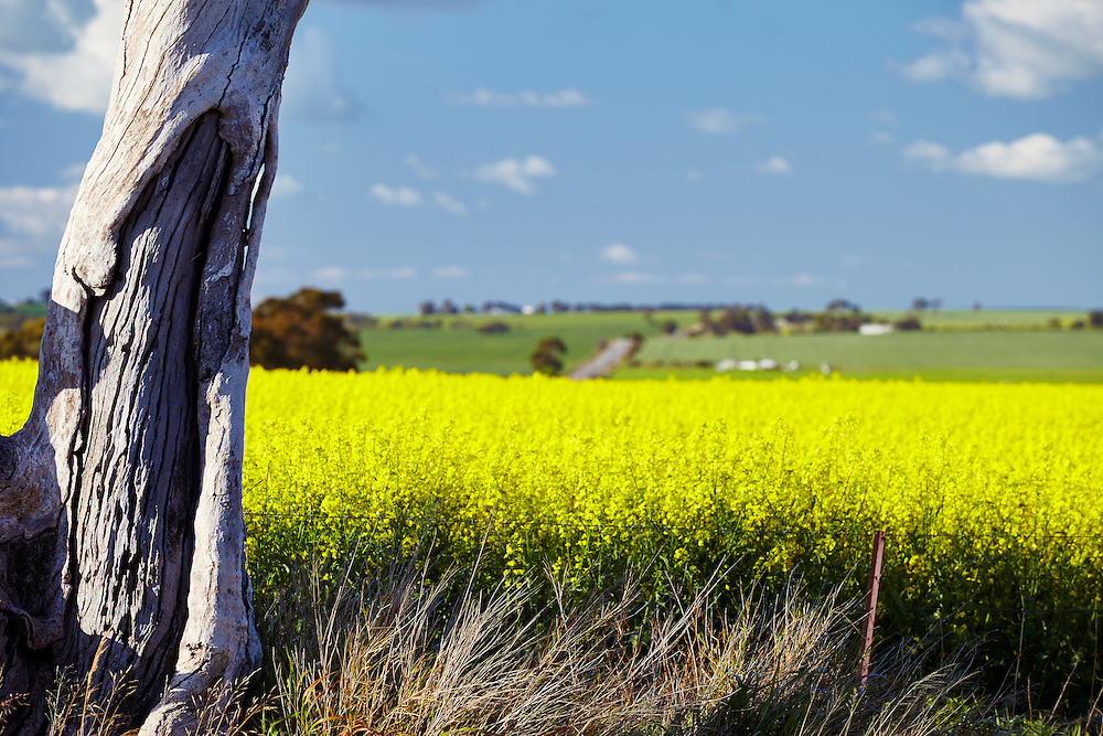 Canola fields roll into the distance behind a dead tree stump in the Barossa Valley, Australia.
