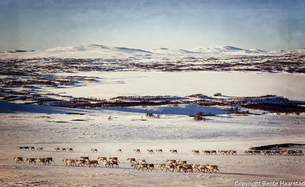Spring migration by the South sami reindeer herders of Saanti Sijte and Gåebrien Sijte in Norway.