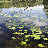 Colorful, fresh image of water lilies on Sognsvann lake, Oslo, Norway.