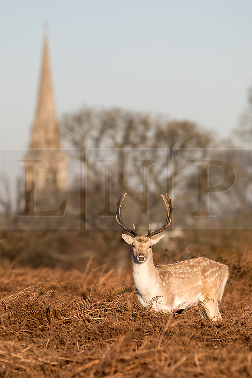 © Licensed to London News Pictures. 30/11/2017. London, UK. Deer seen in Richmond Park this morning, as temperatures dropped to 0 degrees celcius in the capital last night. Photo credit : Tom Nicholson/LNP