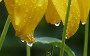 Raindrops hang from the golden-yellow, reflexed petals of Rudbeckia laciniata 'Juligold'.<br />