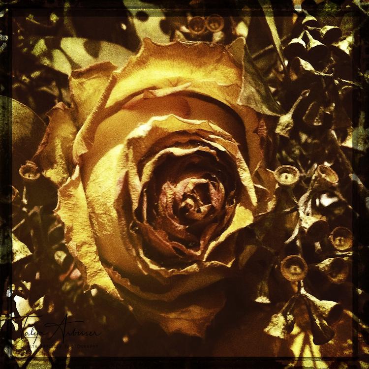 Dead rose - Houston, Texas