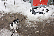 Half-price sign and terrier pet dog who looks up to the viewer, awaiting its owner who is inside shopping in a local supermarket.
