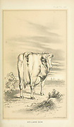 Holland Cow from Cattle and dairy farming. Published 1887 by Govt. Print. Off. in Washington. United States. Bureau of Foreign Commerce (1854-1903)
