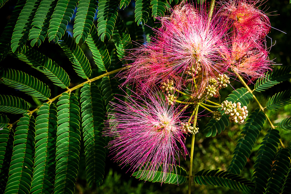 The beautiful Mimosa Tree, native to eastern Asia has also become an invasive species in the United States.  It is commonly found along major roads, where its seed pods can freely spread.