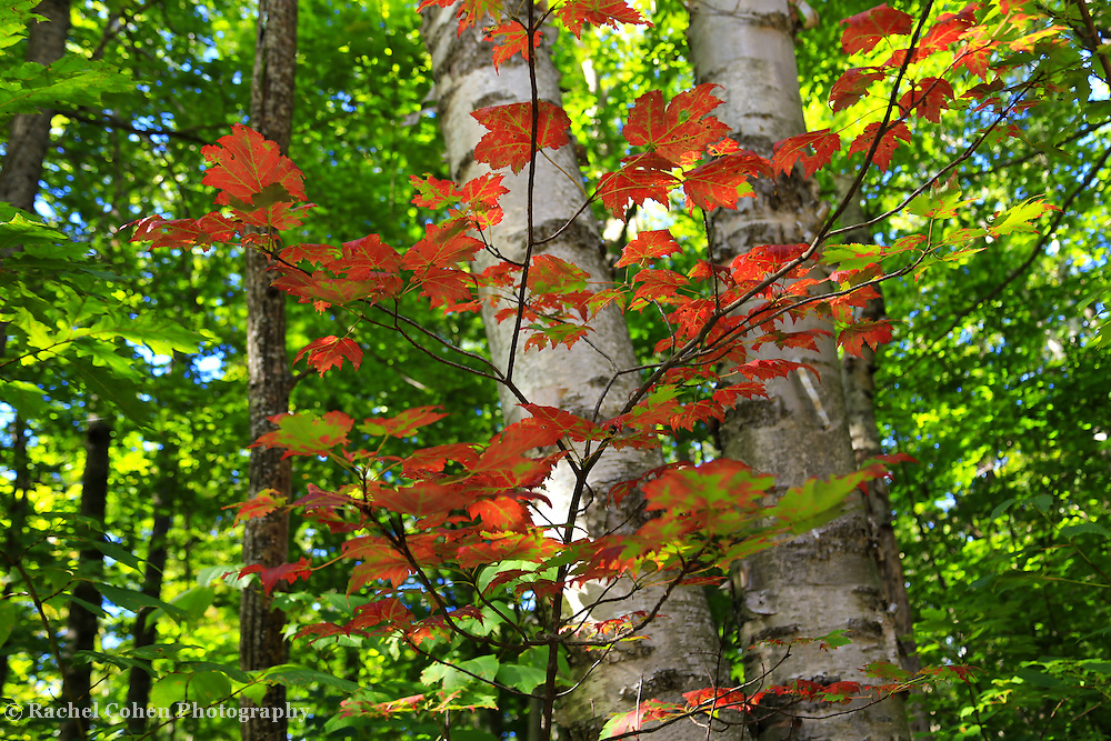 &quot;Flicker of Autumn&quot;<br /> <br /> Beautiful orange maple leaves against white birch trees in early autumn!!<br /> <br /> Fall Foliage by Rachel Cohen