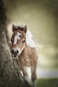 Baby Miniature horse colt