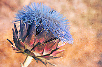 An artichoke in full bloom on textured background.