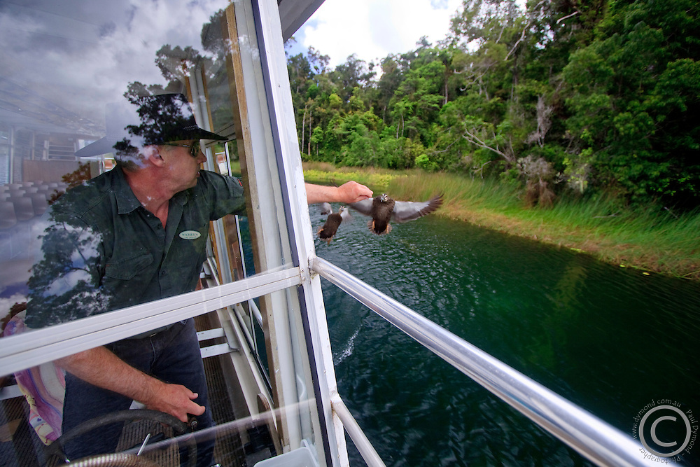 Lake Barrine tour guide Warren feeds a Pacific Black Duck from out the window of the boat at Lake Barrine on the Atherton Tablelands, far north Queensland, Australia