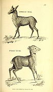 Musk Deers from General zoology, or, Systematic natural history Vol II Part 2 Mammalia, by Shaw, George, 1751-1813; Stephens, James Francis, 1792-1853; Heath, Charles, 1785-1848, engraver; Griffith, Mrs., engraver; Chappelow. Copperplate Printed in London in 1801 by G. Kearsley