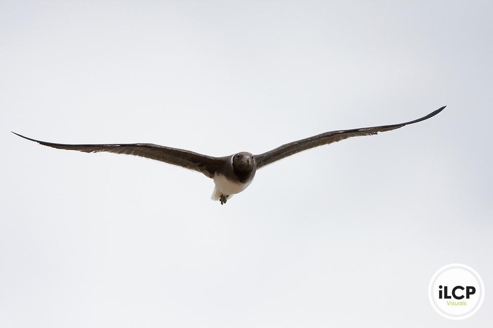Sooty Gull (Larus hemprichii) flying, Hawf Protected Area, Yemen