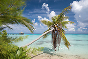 A coconut palm tree hangs over turquoise blue waters along the coast of Fakarava island, part of French Polynesia.