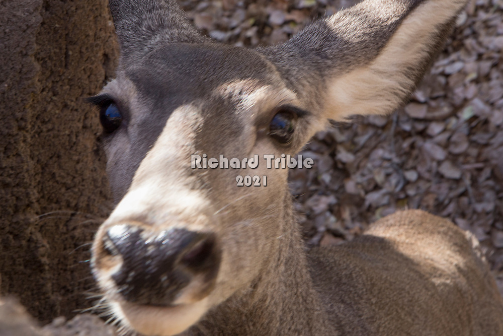 Mule deer staring at the camera