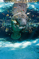 Florida manatee, Trichechus manatus latirostris, a subspecies of the West Indian manatee, endangered. A manatee floats near a warm blue spring and submerged tree roots surrounded by fish, bream, Lepomis spp. and a mangrove snapper, Lutjanus griseus. The manatee is tolerating the bream fish attention as it is the price to pay for sharing the warm waters. Bream target dermis and dead skin on the manatee. Vertical orientation with blue water and light rays. Undisturbed, natural behavior. Three Sisters Springs, Crystal River National Wildlife Refuge, Kings Bay, Crystal River, Citrus County, Florida USA.