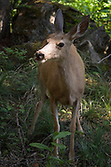Waterton National Park, Alberta, Canada, July 2008. A deer checks out our tent at Snowshoe campsite. The Tamarack trail is a multiple day hike in the Rocky Mountains. Photo by Frits Meyst/Adventure4ever.com