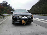 LOUDI, CHINA -  (CHINA OUT) <br /> <br /> Dog is found in Car Grill, but only after driver had driven 240 miles first<br /> <br /> The image was taken with mobile phone. A dog gets stuck in a car and survives the accident  in Loudi, Hunan Province of China. A dog was hit by a car running at full speed when it crossed an expressway in Central China's Hunan province, The driver, who assumed the dog must have been killed in the accident, unexpectedly found it somehow got stuck in the slot under the bumper and had not sustained any serious injury. The man went on driving for 400 kilometers and during the journey kept checking on the dog's condition. When they reached a veterinarian, the vet confirmed that the dog only suffered a slight injury, and the car owner, surnamed Zhang, decided to adopt the dog into his family. <br /> ©Exclusivepix Media