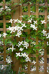 Clematis montana var. wilsonii growing up trellis