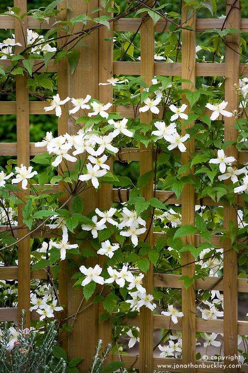 Clematis montana var. wilsonii growing up trellis