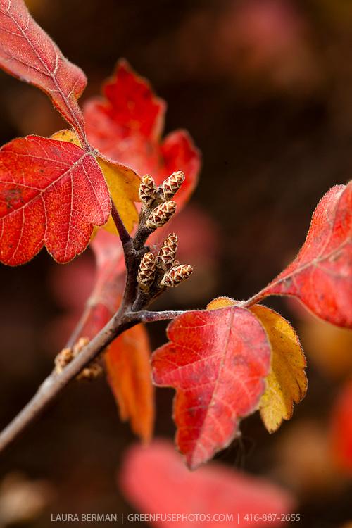 Fragrant sumac leaves in autumn (Rhus aromatica)