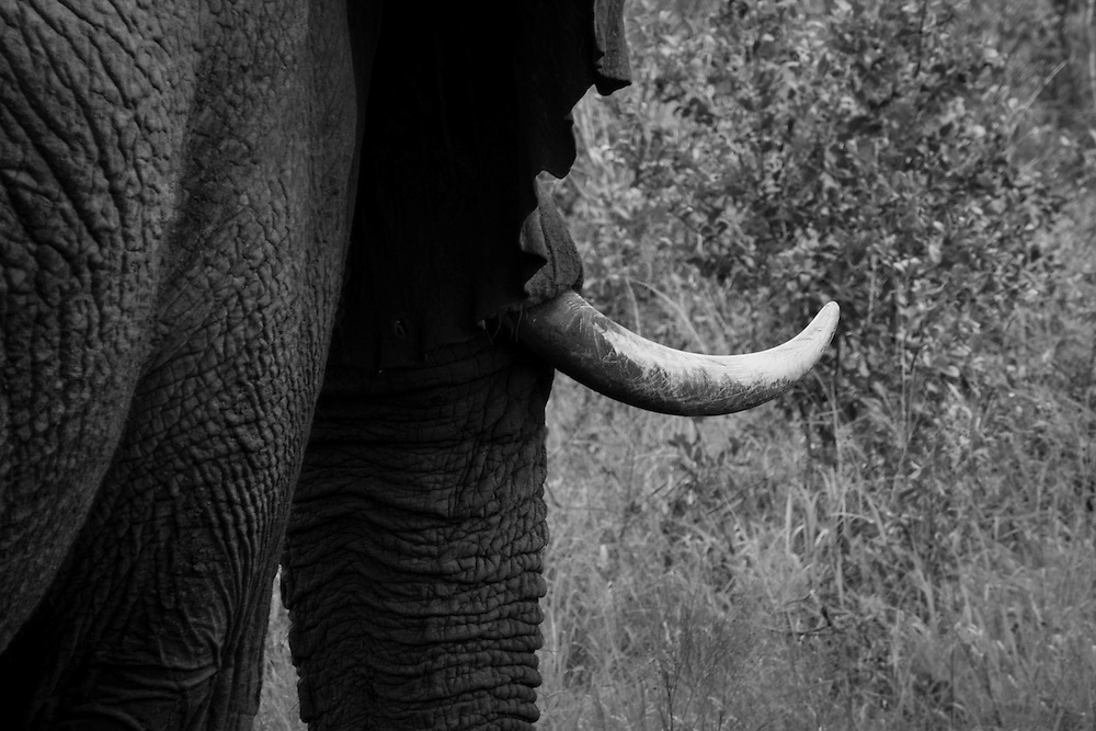 The African forest elephant is the third largest living terrestrial animal.  The elephants' tusks are the second set of incisors.  Incisors are a mammal's front teeth.  The tusks are used for digging up roots and stripping bark from trees for food.  Tusks are also used for fighting and defending themselves.