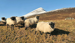 Mayo Mountain Flock<br /> Blackface Sheep out on the lower slopes of a snow capped Croagh Patrick, co. Mayo Yesterday.<br /> Pic Conor McKeown