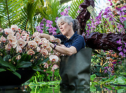 © Licensed to London News Pictures. 07/02/2019. London, UK. Kew Garden Diploma Student Sal Demain tends to orchids at the 24th annual Kew Orchid Festival, which this year focusses on the colour and biodiversity of Colombia. Photo credit: Rob Pinney/LNP