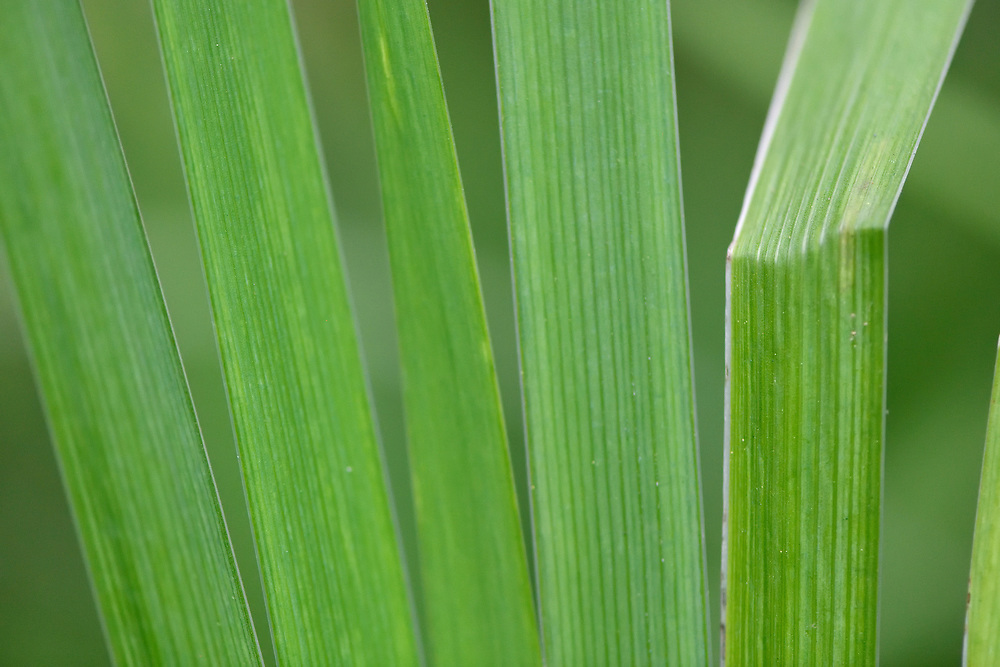 Close up of Iris leaves, East Lake Greenway park, Wuhan, Hubei, China