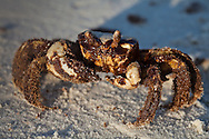 A crab is covered in oil at the beach at  Bon Secour National Wildlife Refuge.<br /> Oil on the shore at Bon Secour National Wildlife Refuge , in  Alabama on June 12, 2010 is the worst it has been since the BP well started leaking on April 20, 2010