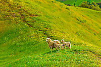 Sheep grazing in the Tuki Tuki Hills (with Te Mata Peak in back), near Napier, Hawkes Bay, north island, New Zealand