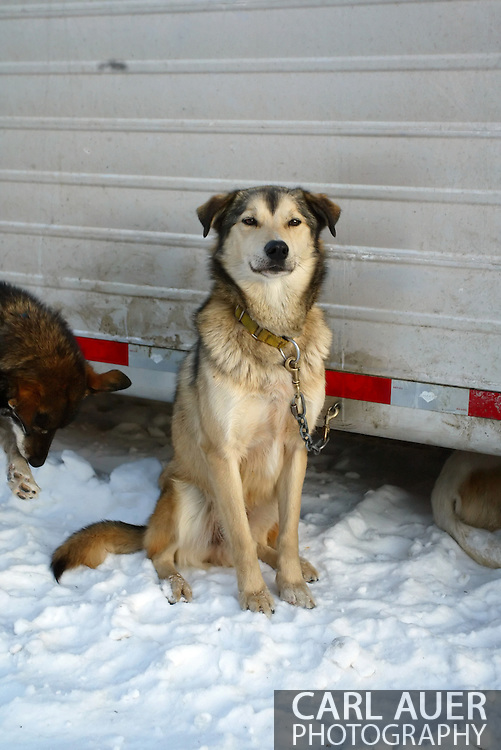 3/3/2007:  Anchorage Alaska -  One of the hundreds of dogs that are getting ready to make the run of over 1000 miles from Anchorage to Nome in the running of the 35th Iditarod Sled Dog Race