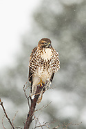 Red-tailed Hawk sitting on a snag in the snow