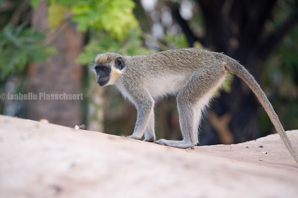 A monkey on the roof in Coco Ocean hotel in Gambia.