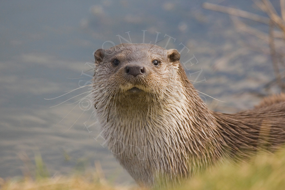 European Otter (Lutra lutra) adult on riverbank, close-up of head, England (captive)