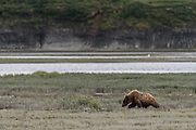 A brown bear adult walks through wetlands on the lower lagoon at the McNeil River State Game Sanctuary on the Kenai Peninsula, Alaska. The remote site is accessed only with a special permit and is the world's largest seasonal population of brown bears in their natural environment.