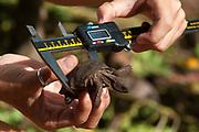 Conservationist Tanya Leibrick with an Aldabra tortoise (Dipsochelys dussumieri), Fregate Island, Seychelles