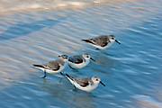 Sanderlings, Calidris alba, on the shoreline at Anna Maria Island, Florida, United States of America