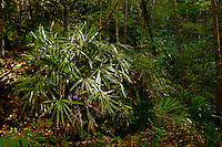 Needle Palm, Devil's Millhopper State Geological Site, Gainesville, Florida