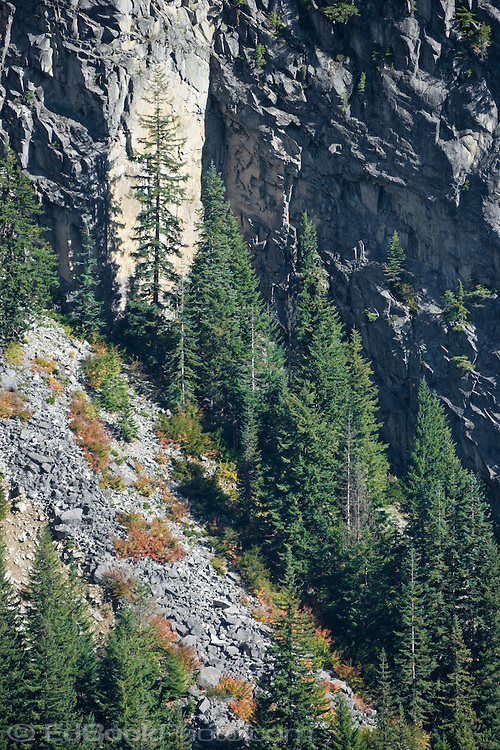 Autumn paints the vine maple (Acer circinatum) on the steep mountainsides in Stevens Canyon of Mount Rainier National Park with vivid warm color