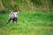 IDAHO. Challis. Bighorn Sheep (Ovis Canadensis) lamb in summer pasture. September 2006. #as060504
