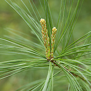 White Pine sprouts new leaves in the spring