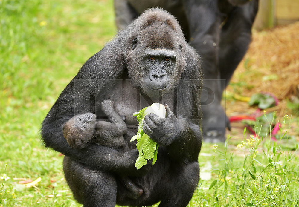 """© Licensed to London News Pictures.  30/05/2017; Bristol, UK. Gorilla mum TOUNI with baby yet to be named. Keepers at Bristol Zoo Gardens have revealed that their new baby gorilla is a girl. The little Western lowland gorilla was born in the early hours of Saturday, April 22nd to first-time mum Touni and silverback gorilla dad, Jock. Touni has been at the Zoo since September 2015 after coming from La Vallée des Singes zoo in France, as a breeding partner for Jock. The bright-eyed five week old baby is getting stronger every day and now needs a name. Bristol Zoo's curator of mammals, Lynsey Bugg, said: """"Our little lowland gorilla is doing incredibly well - developing exactly as she should, feeding well and putting on plenty of weight. Now we would like to ask the public to help us choose a name for her.""""  The Zoo is asking members of the public to vote on their favourite from a choice of three names, all inspired by the name 'Daisy'. She added: """"We would like to name her in memory of the baby daughter of one of our colleagues who was born four years ago on the same day as the baby gorilla. Daisy was stillborn and we thought this would be a lovely tribute to her."""" Keepers have chosen a shortlist of names for the baby gorilla – Fleur, Ayana and Undama. Fleur is French for flower, chosen because Touni is French. Ayana means 'pretty flower' in Ethiopian, and Undama means 'beautiful flower' in Swahili. Voting will open later today (Tuesday 30 May) on the Bristol Zoo Facebook page. After Daisy was born, her parents, who are both members of staff at Bristol Zoo, received support from SANDS (the stillborn and neonatal death charity). For more information about SANDS, visit www.sands.org.uk/ or phone 0808 164 3331. The new baby takes the number of gorillas living at Bristol Zoo to eight. The refurbished and extended Gorilla House opened in 2013 and is able to accommodate up to 10 gorillas in a state-of-the-art enclosure with a reinforced glass ceilin"""