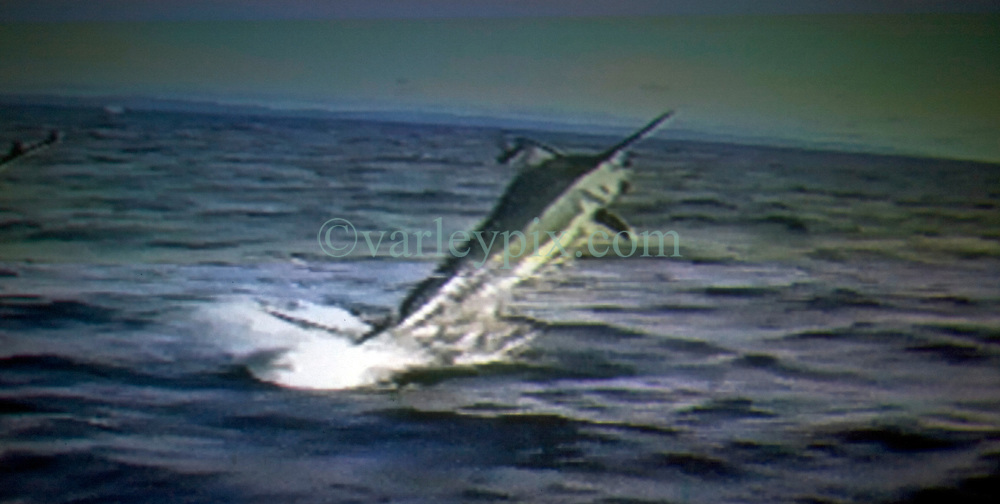 17th November, 2005. Mandeville, Louisiana. <br /> Videograb courtesy denise Leblanc. Off the Panamanian coast, 2000. Eye to eye with a 600lb blue marlin as it leaps from the water and lunges toward Denise's chest. The marlins' sharp sword like nose lanced Denise through her breast implant and out out through her back as she shot the video.<br /> The attack occurred in the fall of 2000. Denise barely survived the horrific attack off the Panamanian coast where she was sport fishing. Denise and her doctors have credited her breast implant with saving her life. <br /> Photo; Charlie Varley<br /> varleypix.com<br /> Video grab courtesy; Denise Le Blanc