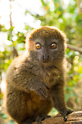 Eastern Lesser Bamboo Lemur (Hapalemur griseus) also known as the gray gentle lemur, and the gray bamboo lemur, is only found on Madagascar.