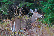 White-tailed deer (Odocoileus virginianus)<br />