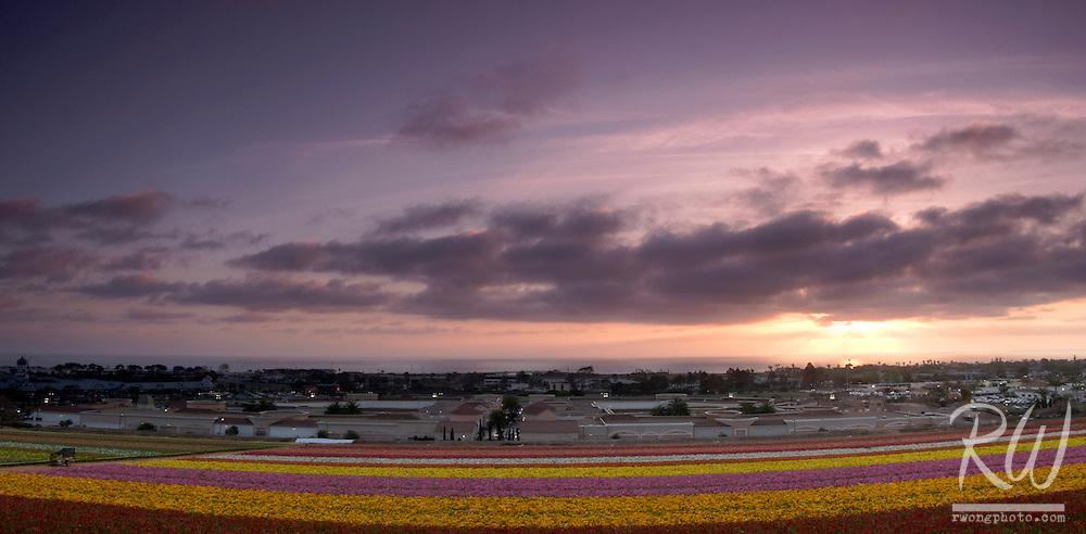 Carlsbad Flower Fields Panoramic, California