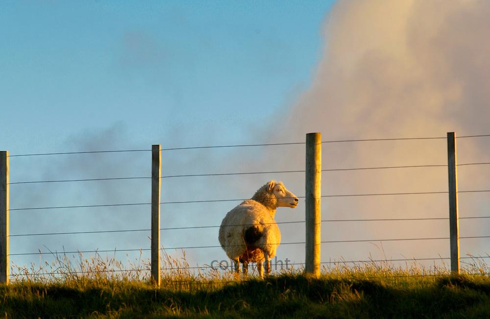 Sheep behind fencing on a farm in North Island, New Zealand