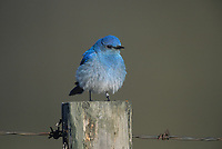 Mountain Bluebird (Sialia currucoides), Big Springs Provincial Park, Near Calgary, Alberta, Canada - Photo: Peter Llewellyn