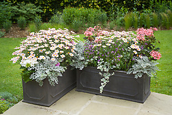 Finished troughs flowering on the patio in summer. Senecio cineraria, Nemesia Bluebird, Pelargonium and Helichrysum petiolare and Argyranthemum frutescens (Marguerite Daisy)